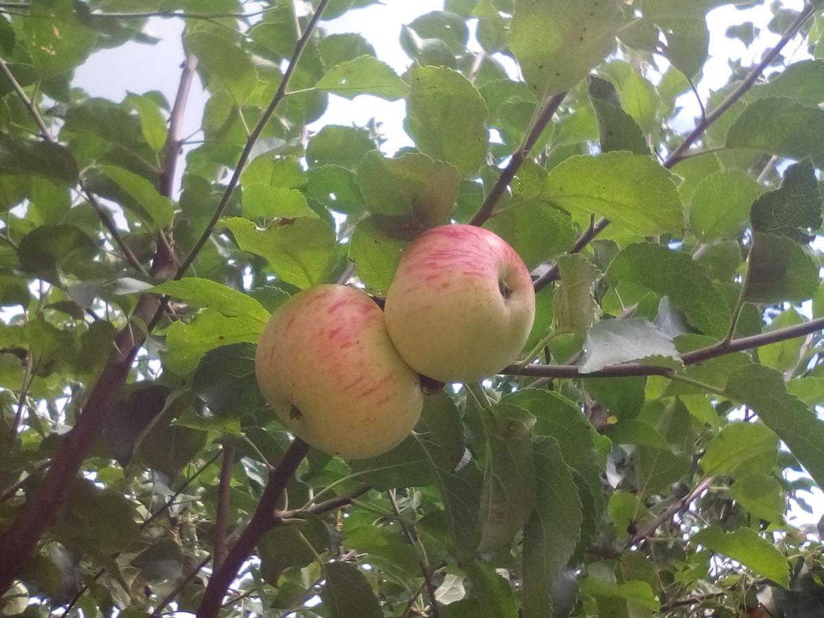 U voćnjaku puno starih sorti jabuka (56586)