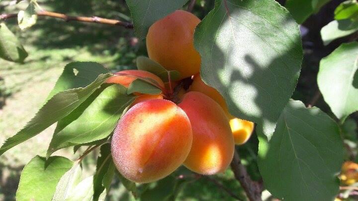 Sočni plodovi (56576)