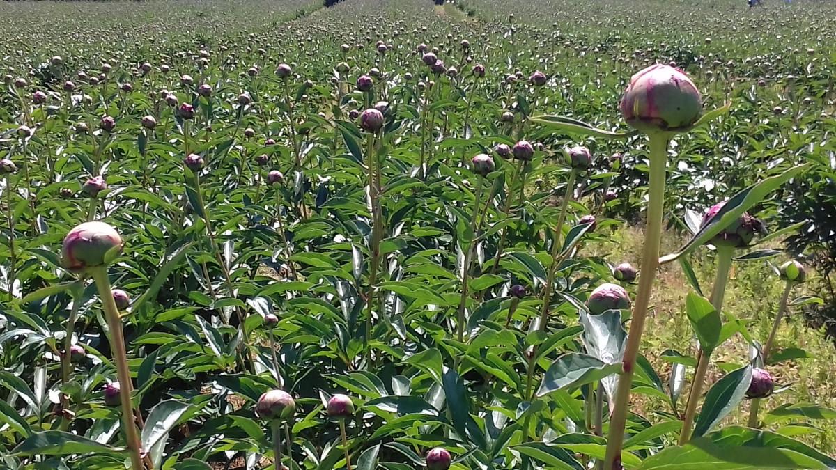Na plantaži je oko 50 000 pupoljaka (53715)