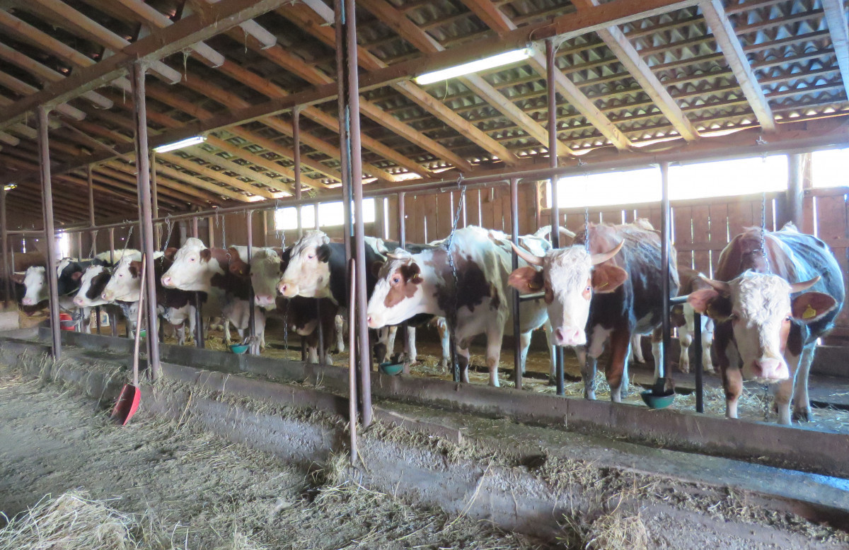 Krave simentalske pasmine (65233)
