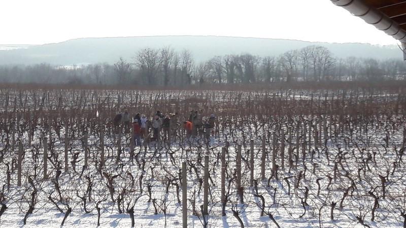 Vinograd Mladena Papka (46949)