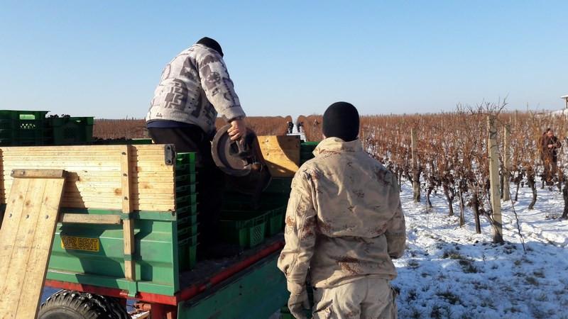 Berač donosi obrano grožđe (46951)