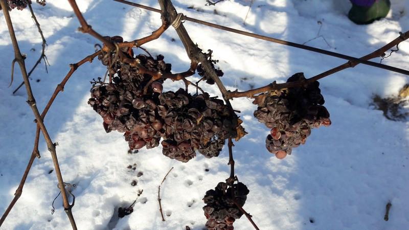 Smrznuto grožđe na trsu (46953)