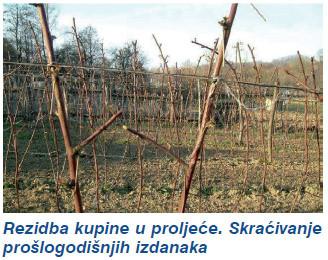Rezidba maline i kupine (4529) - Voćarstvo - AgroKlub.com Sadnice