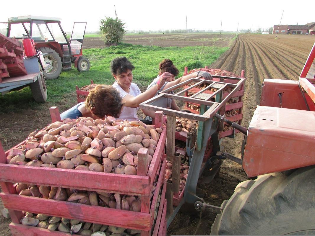 sjetva krompira (51958)