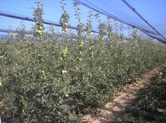 Slika 5 - prikazuje plantažu jabuka gdje imamo uravnotežen odnos izme?u plodonošenja i vegetativnog rasta, što omogu?ava da se svjetlost ravnomjerno probija kroz krošnju do svih plodova.