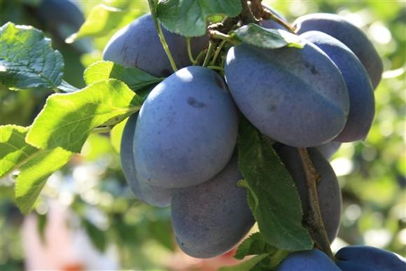 Volim voće - Page 22 Sljive-plave-img_7983-2009