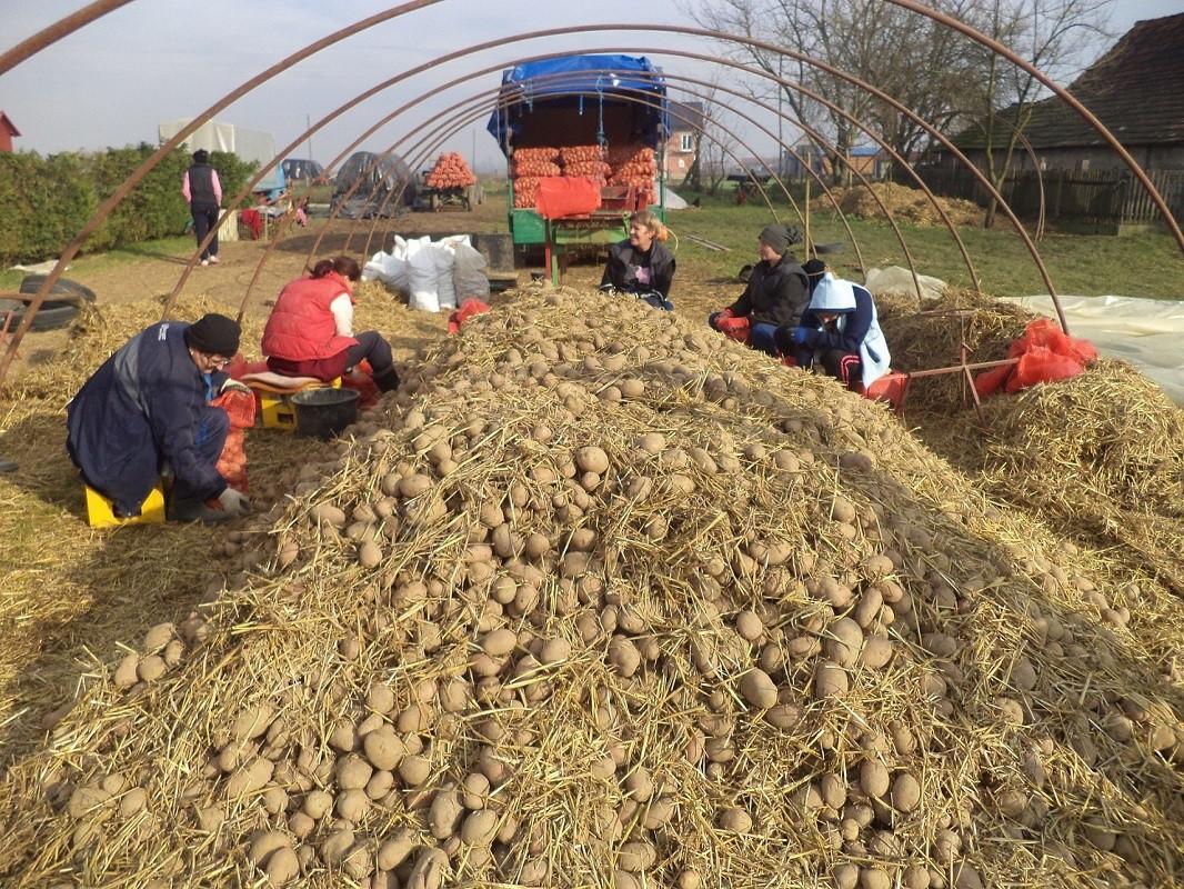 stari krompir u dobrom stanju (51952)