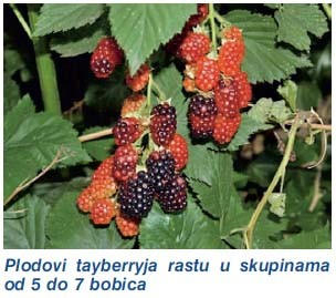 Uzgoj Kupine http://www.pic2fly.com/Uzgoj+Kupine.html