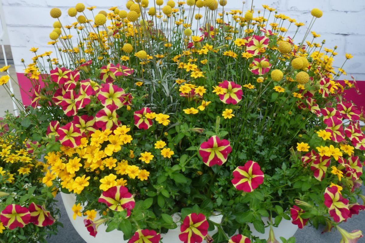Za cvatnju tijekom čitave sezone potrebna je kvalitetna zemlja, redovito zalijevanje i dodatna hranjiva