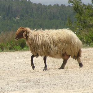 Awassi ovca