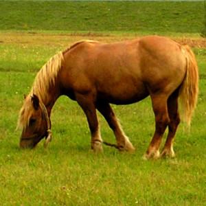 Brdsko-posavski konj