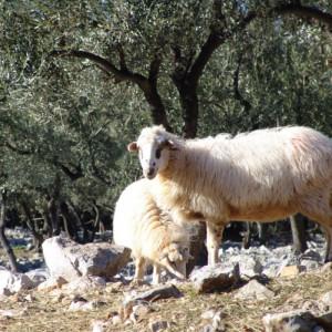 Creska ovca