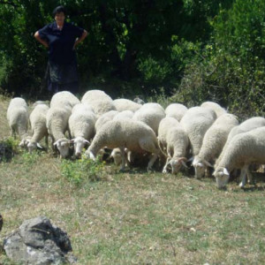 Dubrovačka ovca (ruda)