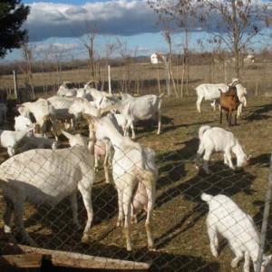 Hrvatska bijela koza