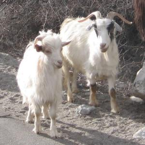Kašmirska koza