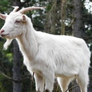 Domaća balkanska rogata koza