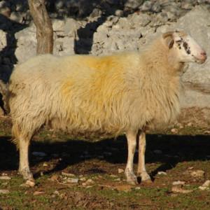 Krčka ovca