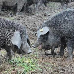 """Mangulica (Wollschwein """"Vunasta svinja"""")"""