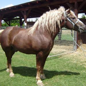 Međimurski konj