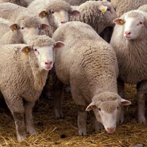 Njemačka merino ovca