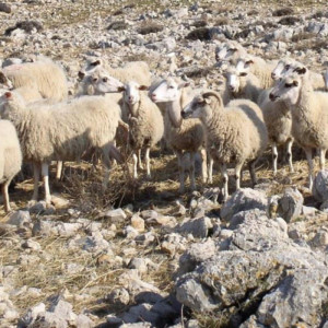 Paška ovca