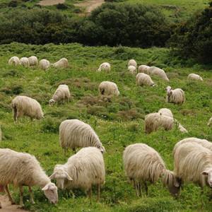 Sardinijska ovca