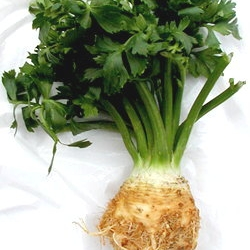 Celer korenaš