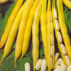 Grah mahunar visoki (U usjevu graha)