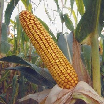 Kukuruz za zrno FAO 200