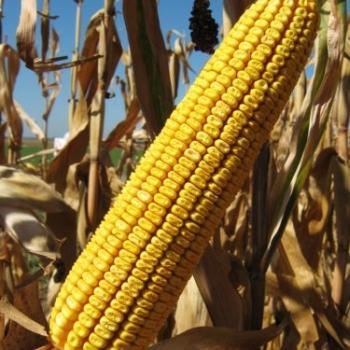 Kukuruz za zrno FAO 400