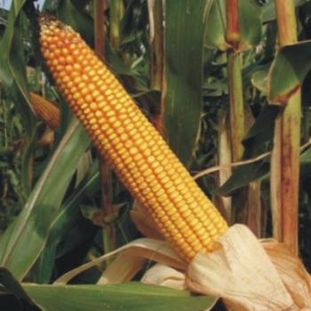 Kukuruz za zrno FAO 500