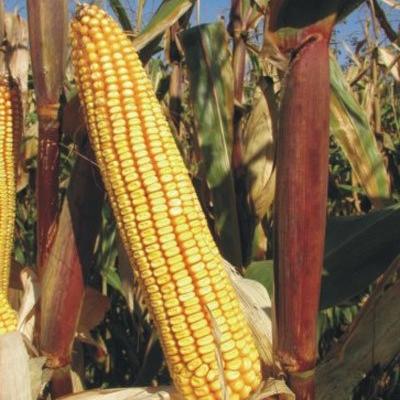 Kukuruz za zrno FAO 600