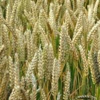 Pšenica jara obična