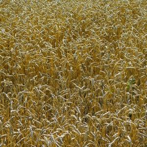 Pšenica ozima obična