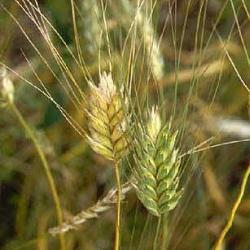 Pšenica ozima tvrda