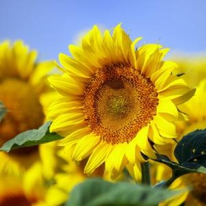 """Suncokret (""""U usjevu Clearfield, odnosno IMI hibridu suncokreta"""")"""