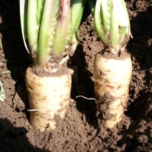 Cikorija, krmni radič