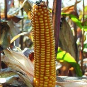 Kukuruz za zrno FAO 100
