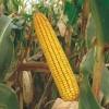 Kukuruz za zrno FAO 300