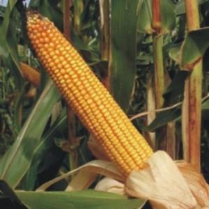 Kukuruz visokolizinski FAO 500