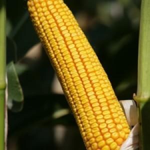 Kukuruz za zrno FAO 800
