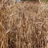 Pšenica jara tvrda