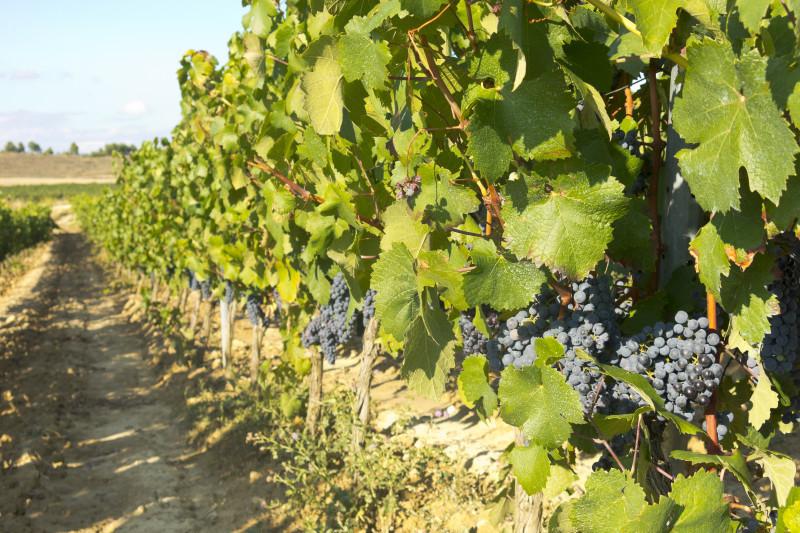 Vinograd u Španjolskoj