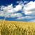 Zaštitite ozime žitarice od korova