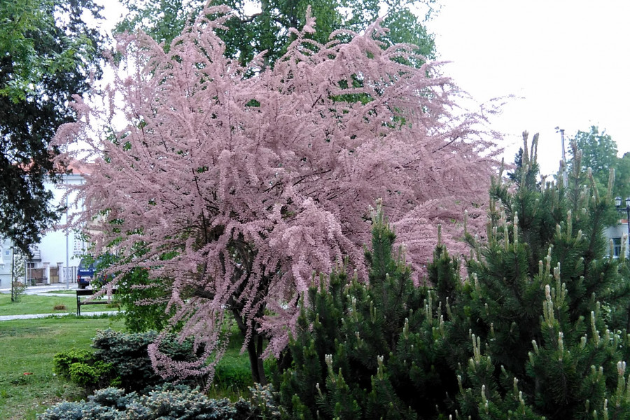 Tamaris - medonosna i ljekovita biljka