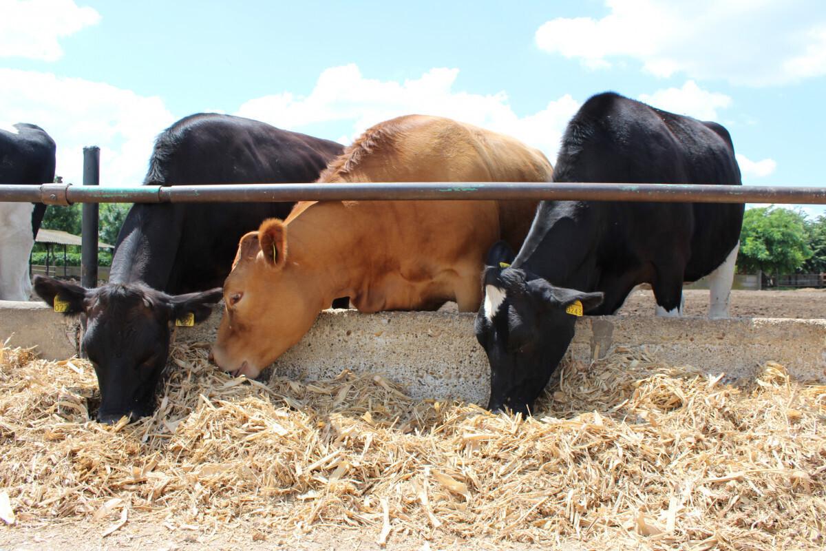 Mlečne krave i izložba životinja Pantelimon kod Bukurešta (55829)