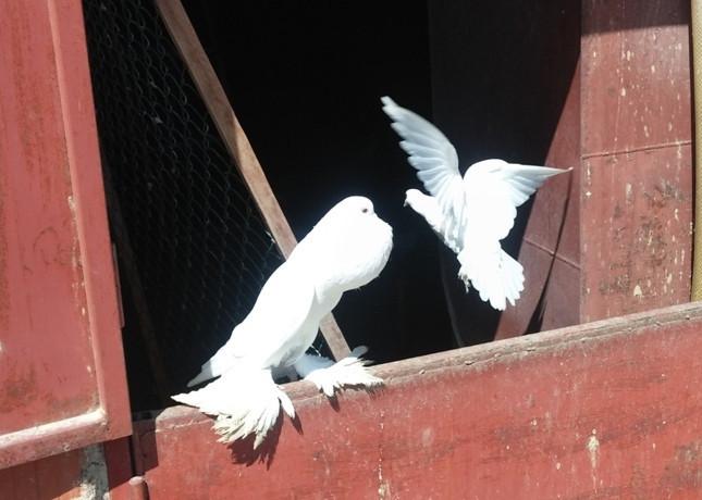 Neodoljivi golubovi gušaneri izazov za uzgajivače