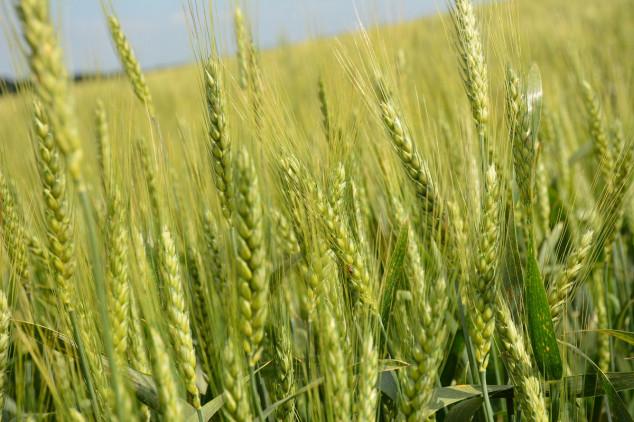 Acanto Plus neizostavna zaštita strnih žitarica