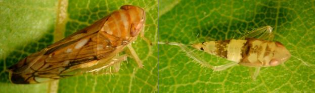 Biološki insekticid za suzbijanje štetnika